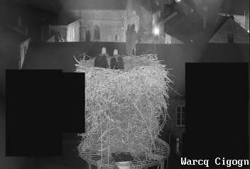 Le nid de cigognes en direct depuis le toit de la mairie !